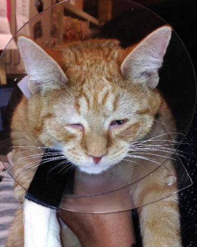 Alexander after surgery with his e-collar